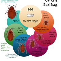 Lifecycle of the bed bug atlanta pest control pros