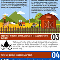Dairy cow facts infographic